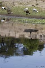 Boteti river (Zsuzsa Poór) Tags: africa reflection water river wildlife goat botswana makgadikgadi wildlifeafrica canonistas botetiriver canoneos7d reflectsobsessions canonef70200mmf28lisusmii