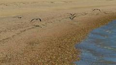 Volo radente 2 (Renato Pizzutti) Tags: mare ali uccelli volo acqua egitto deserto sabbia marsaalam marrosso