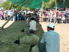 20131012_160642 (Rincón del Aguila) Tags: costumbres chilenas esquila tipicas
