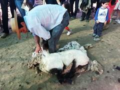20131012_170023 (Rincn del Aguila) Tags: costumbres chilenas esquila tipicas