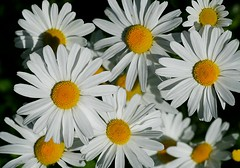 Brighten your day   :) (Liisamaria) Tags: perfectpetals saariysqualitypictures unforgettableflowers universeofnature thebestofunforgettableflowers