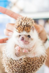 (miki-re) Tags: animals square friendship hedgehog kanagawa    enoshimaaquarium  erinaceinae