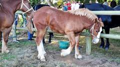poulain Cheval Breton, Breton draft horse (claude 22) Tags: bretondrafthorse cheval chevaux caballo paard paarden άλογο cavallo cavalli cavalo lamballe élevage concours étalon stallion hengst semental 種馬 公马 garanhão haras national