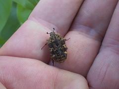 Cetoniidae>Protaetia fusca Mango Flower Beetle Female DSCF4062 (Bill & Mark Bell) Tags: exmouth westernaustralia australia geo:town=exmouth geo:state=westernaustralia geo:country=australia geo:lon=11425453egeolat2217752sgeoalt8m 11425453e2217752salt8m taxonomy:kingdom=animalia animalia taxonomy:phylum=arthropoda arthropoda taxonomy:class=insecta insecta taxonomy:order=coleoptera coleoptera taxonomy:family=cetoniidae cetoniidae taxonomy:genus=protaetia protaetia fusca taonomybinomialnameprotaetiafusca protaetiafusca taonomycommonnamemangoflowerbeetle mangoflowerbeetle insect beetle