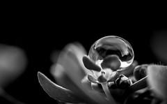 goutte (Laurent Hutinet) Tags: eos550d eau macro nature nb noiretblanc bw blackandwhite photographyforrecreation