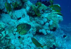 Yellow-edged Moray, Gymnothorax flavimarginatus, Far Garden, Local Reefs, Sharm El Sheikh (Jeremy Smith Photography) Tags: redsea sharmelsheikh scuba diving padi moray naamabay yellowedgedmoray gymnothoraxflavimarginatus redseacollege fargarden jeremysmithphotographycouk jeremysmithphotographycom jeremysmith007 jnsmithphotos