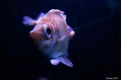 (*Valentina.) Tags: fish animal canon eos aquarium colorful details efs1855mm colored dettagli acquario animale pesce d550 colorato primitentativi