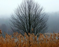 Tree with Foggy Background