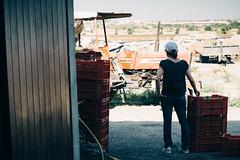 IMG_2754 (qbetto.com) Tags: vineyard workers wine harvest grapes sicily uva sicilia siracusa vino vendemmia agricoltura vigneto pupillo operai moscato agricolture raccolto solacium