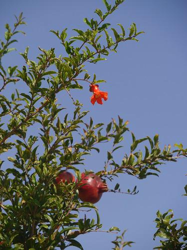 pomegranate - Granatapfel - Ρόδι - Punica granatum