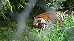 Tijger achter tralies (Iederedagkoningsdag) Tags: zoo blijdorp tiger tijger dierentuin