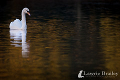 A Wider View (LawrieBrailey) Tags: wild reflection bird animal swan nikon adult wildlife wide 300mm nikkor southampton common mute d3 afs f40 lawrie brailey