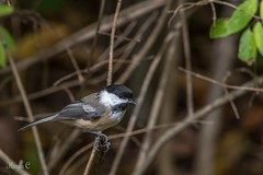Chickadee (hey its k) Tags: birds chickadee hfg img0405 canon6d cherryhillrbg