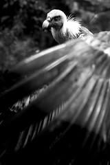 Vulture (maaniemi) Tags: amsterdam holland netherlands hollanti syksy autumn maaniemi tero