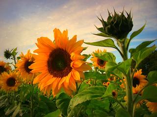 Sonnenblumen, sunflower,4066