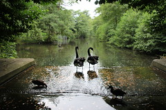 2 Black Swans @ Leeds Castle, Maidstone, Kent (randallphilip79) Tags: two money black reflection castle canon waterfall kent pair leeds july swans wish maidstone 2014 60d canon60d philrandallphotography2015
