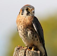 American Kestrel (Doris Burfind) Tags: nature birds wildlife raptor birdsofprey americankestrel