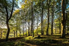 Cheltenham: Prestbury Hill Beech Wood (all you need is light) Tags: gloucestershire cheltenham beech fagussylvatica cleevehill cotswoldhills prestburyhill