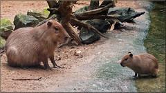 Capybaras (Foto Martien) Tags: brazil holland peru southamerica netherlands argentina dutch uruguay zoo rodent ecuador colombia venezuela arnhem nederland bolivia indoor guyana burgers jungle paraguay geotag carpincho veluwe burgerszoo capybara ecosystem capivara immersion suriname a77 burgersbush capibara hydrochoerushydrochaeris gelderland dierenpark 70300 tropicalrainforest geotagging knaagdier amazonbasin frenchguyana wasserschwein chigire burgersdierenpark ronsoco chigiro waterzwijn tropischregenwoud martienuiterweerd tropischehal tropichall martienarnhem fotomartien slta77v sonyalpha77 geotaggedwithgps tamron70300mmf456sp