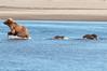DSC_4564 (Scott8586) Tags: alaska nationalpark unitedstates grizzlybear katmai ursusarctoshorribilis hallobay katmainp
