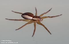 raft spider-3 (Neil Phillips) Tags: water spider fishing arachnid surface semi aquatic arthropoda arachnida arthropod araneae raftspider pisauridae dolomedesfimbriatus