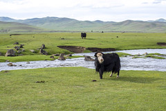 Yak (annezor) Tags: yak grass animals countryside asia country mongolia hazing yaks grazing