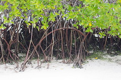 Mangrove, Tortuga Bay, Santa Cruz Island, Galapagos Islands (ARNAUD_Z_VOYAGE) Tags: santa street city bridge sunset people food white house black mountains building green art cars church colors beautiful animal america forest sunrise butterfly river de landscape volcano pig ana town fly casa ecuador amazing san place market dragonfly wildlife south capital young artesanal insects andes luis moutains province canton indigenous otavalo cotacachi imbabura wondeful