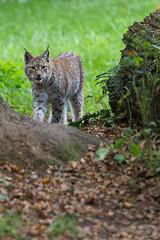 What ... (The Wasp Factory) Tags: tierpark lynx sababurg wildlifepark luchs eurasianlynx nordluchs tierparksababurg