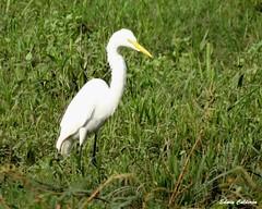 Garza Real/Western Great Egret (Ardea alba egretta) (Edwin Calderón) Tags: aves elsalvador ardeaalbaegretta westerngreategret