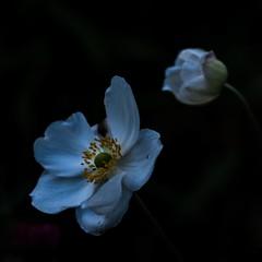 Anne.Mone (c-or^^) Tags: flower fleur flora fiori blume blte ranunculaceae thimbleweed herbstanemone anemonehupehensis 20140919p1130691