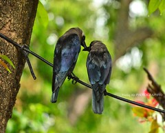 morning love (haziq ali) Tags: morning bird love nikon sigma mating crow islamabad