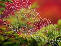 Morning Dew (Bill Fultz) Tags: autumn red fall colors bokeh spiderweb westvirginia area wilderness dolly sods dollysods monongahelanationalforest bearrocks dollysodswildernessarea bokehred bokehweb bearrocksnaturepreserve