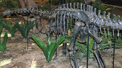 Apatosaurus louisae juvenile sauropod dinosaur (Morrison Formation, Upper Jurassic; Sheep Creek, Albany County, southeastern Wyoming, USA) 1 (James St. John) Tags: apatosaurus louisae morrison formation jurassic wyoming sauropod sauropods dinosaur dinosaurs fossil fossils sheep creek albany county quarry e