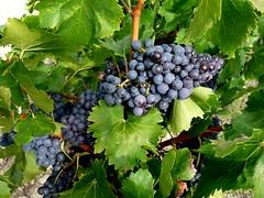 Harvest (johnslides//199) Tags: plant france rouge lumix noir wine harvest vin vignoble cpage raisin syrah vinrouge feuille vendanges vaucluse grenache rcolte grappes raisinrouge mourvdre feuillesdevigne cinsault panasonicdmcfz28 plantdevigne