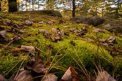Fallen Leaves (nikons4me) Tags: autumn trees leaves pine moss rocks fallcolor boulders fallen needles sonye1855mmf3556oss sonynex7