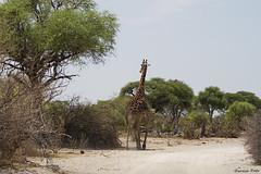 Giraffe (Zsuzsa Por) Tags: africa wildlife giraffe botswana giraffacamelopardalis makgadikgadi wildlifeafrica canonistas canoneos7d canonef70200mmf28lisusmii