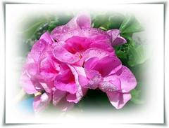Last my pink geranium in this year):-Az utolsó rózsaszín muskátlim ebben az évben (Katalin Réz) Tags: flower amiamoci exquisiteflowers fugitivemoment fleursetpaysages newphotodistillery itsallaboutflowers
