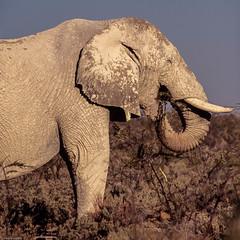 Elphant aprs bain de boue (trekmaniac-is-back) Tags: elephant 1998 animaux diapo namibie etoshanationalpark
