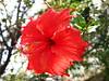 Hibiscus (sid xavier) Tags: brazil plants macro minasgerais planta nature brasil canon natureza powershot hibiscus belohorizonte florvermelha flickrbrasil aoarlivre flickflorescloseupmacros flowerhibiscusred