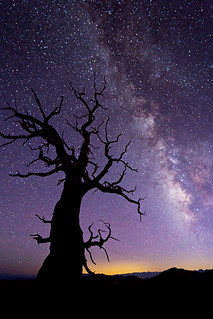Ancient Bristlecone Pine Forest with the Milky Way Rising