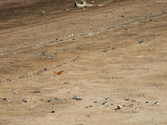 """Monarch Butterfly in Distance • <a style=""""font-size:0.8em;"""" href=""""http://www.flickr.com/photos/34843984@N07/15423411645/"""" target=""""_blank"""">View on Flickr</a>"""