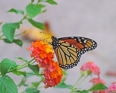 Monarch in the lantana - yesterday (Vicki's Nature) Tags: orange male yard canon butterfly georgia for colorful pattern dof you bokeh ngc posed monarch lantana beautifully naturalframing migrant 0056 vickisnature sx30 readygame pregamewinner getmedal pregameanything returnngc