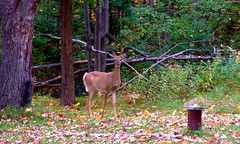 "Brown Doe by orange leaves staring at me • <a style=""font-size:0.8em;"" href=""http://www.flickr.com/photos/34843984@N07/15424917712/"" target=""_blank"">View on Flickr</a>"