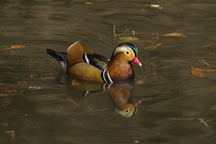 Mandarin Duck - Tokyo - Japan_S4E0498 (fveronesi1) Tags: birds japan asia ducks mandar