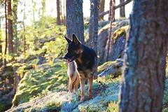 In forest (Miijau) Tags: dog tree green nature pine forest moss germanshepherd gsd