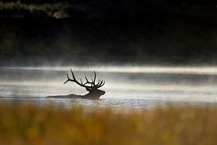 Bull Elk Crossing the Snake River, Wyoming (diana_robinson) Tags: sunrise crossing steam snakeriver wyoming tetons grandtetonnationalpark coldmorning bullelk mistyriver elkcrossing steamyriver
