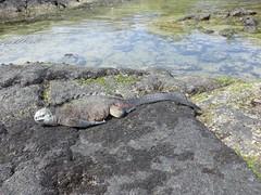 Galápagos - Isabela-88