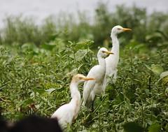 গো-বক..(Cattle Egret) (Ashraful Tareq) Tags: green canon cattle egret tareq mymensingh 60d গোবক