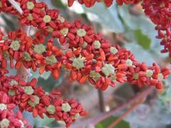carob blossoms   7.10.2014 (yoel_tw) Tags: ceratoniasiliqua  a3300 canonpowershota3300 carobblossoms