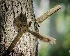 Doing the Hokey-Pokey (hickamorehackamore) Tags: summer ny pond nikon squirrel adirondacks newyorkstate minerva nys redsquirrel hokeypokey 2014 tamiasciurushudsonicus irishtownrd